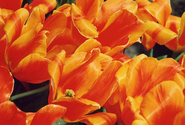 Tulip-06-970